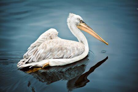 Pelican swims on the water Reklamní fotografie