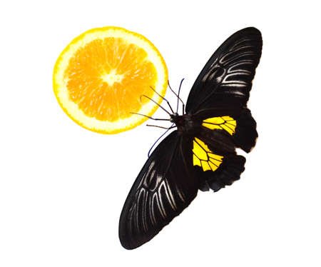 Golden birdwing butterfly eating orange on white