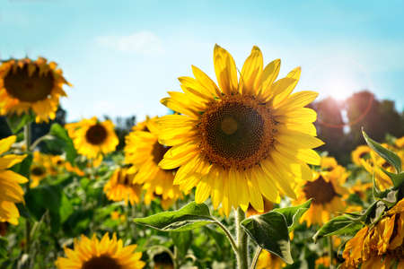 Sunflower in summer day