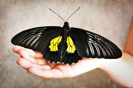 Golden birdwing butterfly on girl palm