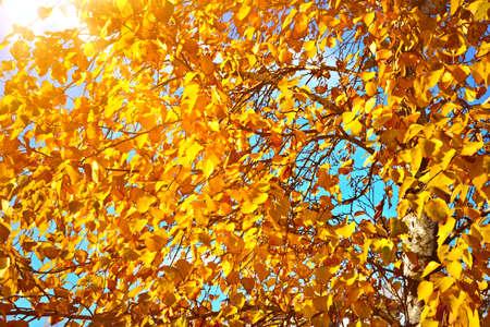Birch brunches in autumn