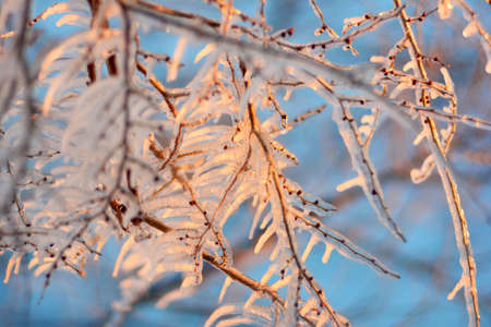 Branches in ice in the evening sun rays