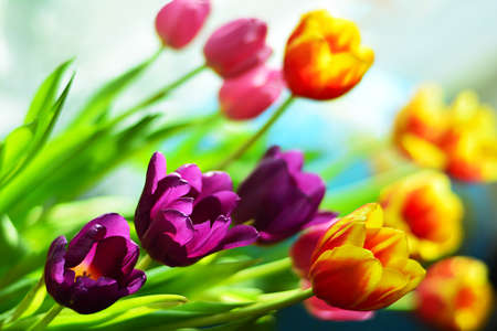 Bright tulips in different colors