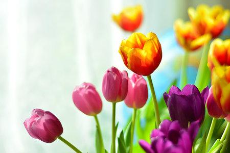 Bright tulips on light background