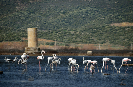 tuzla: Flamingos view from famous tourism city Bodrum Turkey