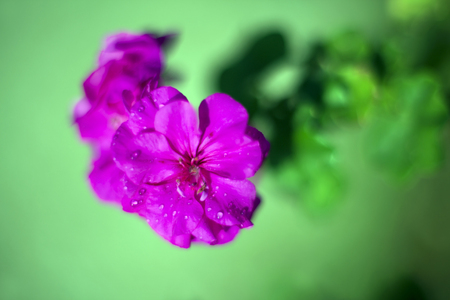 green leafs: Pink Geranium flower and green leafs closeup