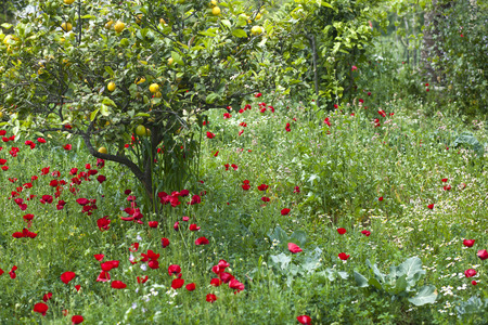 Red poppy flowers and a lemon tree in natural green field