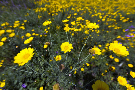 Natural yellow chamomile flowers in rural area Stock Photo