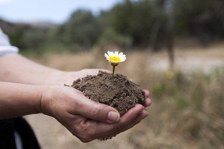 chamomile flower: Chamomile is growing up in rich soil on hands Stock Photo