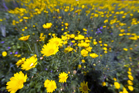 rural area: Natural yellow chamomile flowers in rural area Stock Photo