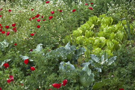 lettuces: Red poppy flowers and romaine lettuces in natural green field Stock Photo