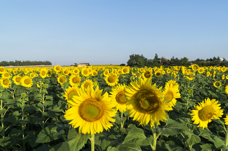 Natural beautiful sunflowers in the field Stock Photo - 65219305