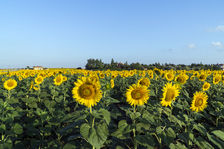 sunflower seeds: Natural beautiful sunflowers in the field