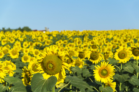 Natural beautiful sunflowers in the field on sunny spring day Stock Photo - 76758109