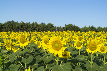 Natural beautiful sunflowers in the field on sunny spring day Stock Photo - 76800593