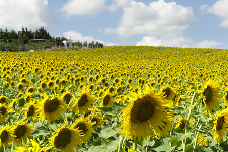 Natural beautiful sunflowers in the field on sunny spring day Stock Photo - 76754265