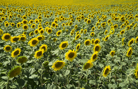 Natural beautiful sunflowers in the field on sunny spring day Stock Photo - 76754263