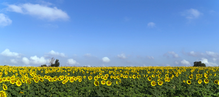 Natural beautiful sunflowers in the field on sunny spring day Stock Photo - 76756161