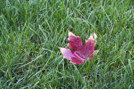 Canada flag's icon maple tree leaf is on green grass Stock Photo - 80023784