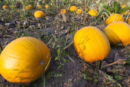 Pumpkin on field for Halloween holiday Stock Photo - 86187587