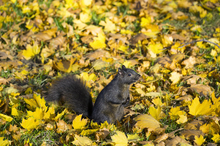 Cute black squirrel at wild natural park on Autumn day Stock Photo - 86254384