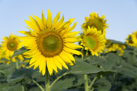Natural beautiful sunflowers in the field Stock Photo - 88557191