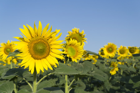 Natural beautiful sunflowers in the field Stock Photo - 88557192