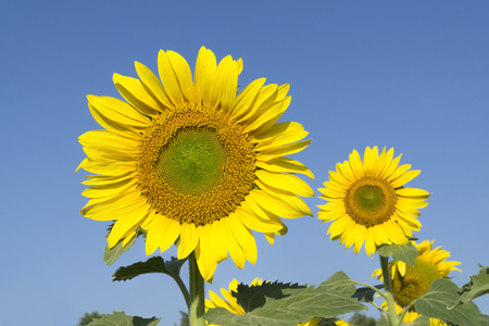 Natural beautiful sunflowers in the field Stock Photo - 88557193