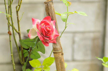 Real rose were placed insert with fake roses it very harmonious Stock Photo