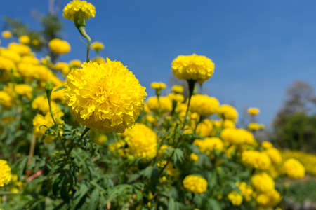 florescent light: Marigold fields with blue sky color