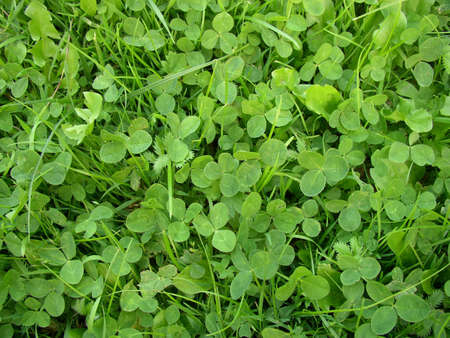 Clover texture 1 Stock Photo - 547566