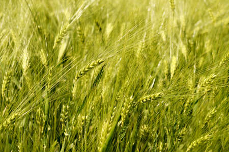 detail of green wheat field Stock Photo - 13728381