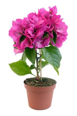 bougainvillea: bougainvillea flower plant in pot over white