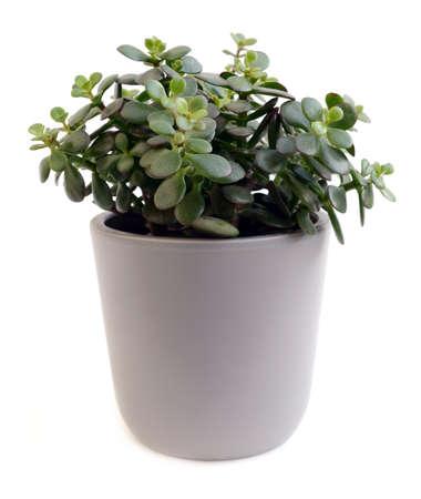 crassula: crassula arborescens in pot over white background