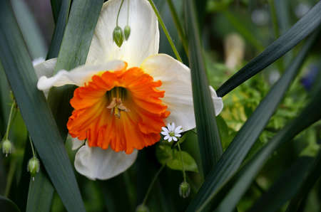 white daffodil flower with orange center detail