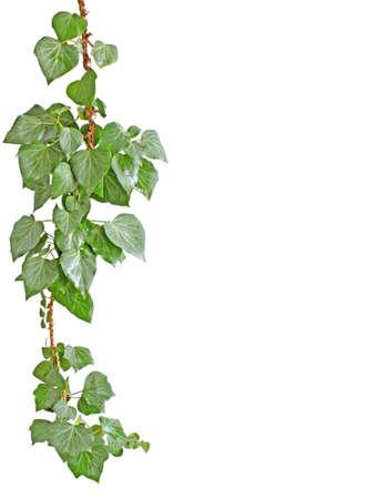 ivies: isolato impianto di edera su bianco