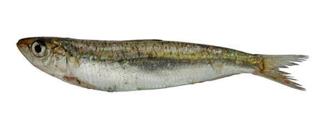 raw sardine isolated on white