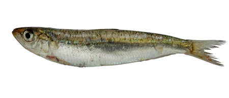 raw sardine isolated on white photo