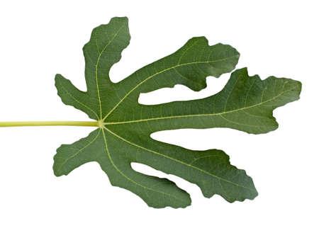 fig tree leaf isolated on white photo