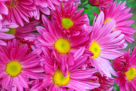 purple daisies closeup photo