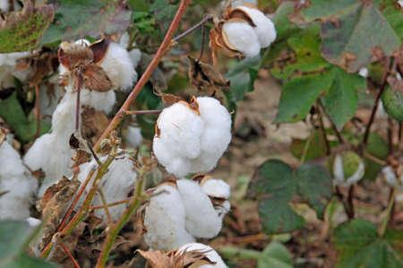 boll: cotton plant in field closeup