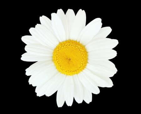 daisy on black photo