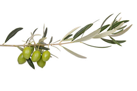 foglie ulivo: Olive verdi sul ramo Archivio Fotografico