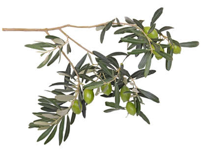 olive branch with green olives photo