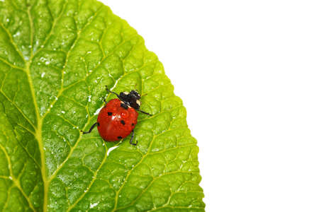 ladybug with waterdrops on green leaf photo