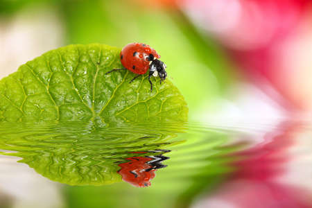 ladybug on green leaf with reflection photo