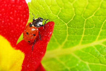 ladybug on flower petal closeup photo