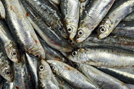 many fresh sardines closeup photo