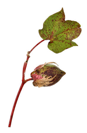 boll: isolated cotton capsule and leaf on white