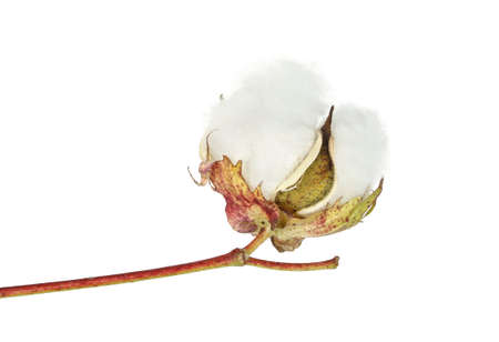 cotton crop: open cotton boll isolated on white